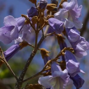 Photographie n°37478 du taxon Paulownia tomentosa (Thunb.) Steud.