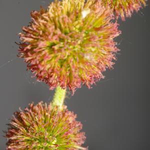 Photographie n°37481 du taxon Platanus orientalis L.