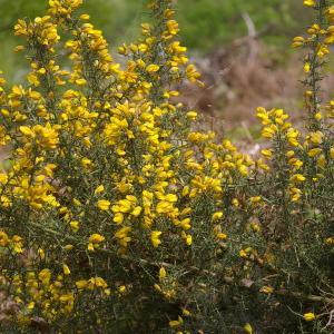 Ulex europaeus subsp. europaeus (image CeL)