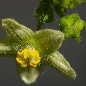 Photographie n°37510 du taxon Bryonia dioica Jacq. [1774]
