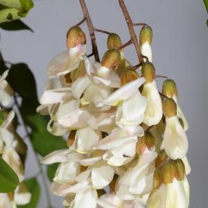 Photographie n°37582 du taxon Robinia pseudoacacia L.