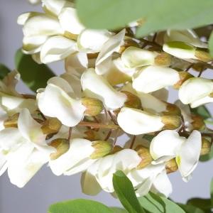 Photographie n°37583 du taxon Robinia pseudoacacia L.