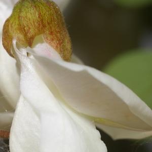 Photographie n°37585 du taxon Robinia pseudoacacia L.