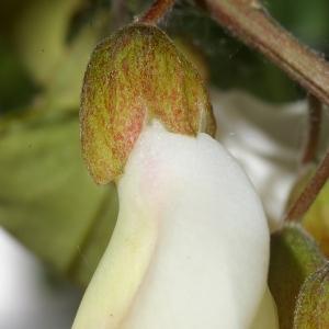 Photographie n°37587 du taxon Robinia pseudoacacia L.