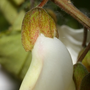 Photographie n°37588 du taxon Robinia pseudoacacia L.