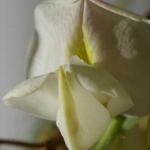 Photographie n°37589 du taxon Robinia pseudoacacia L.