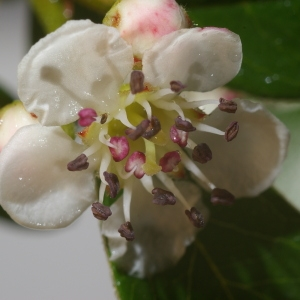 Photographie n°37596 du taxon Cotoneaster integerrimus Medik.