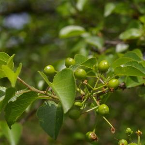 Photographie n°37607 du taxon Prunus mahaleb L.
