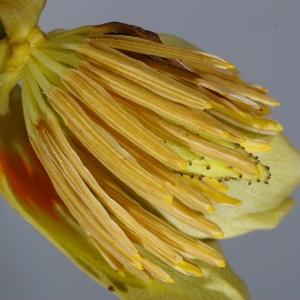 Photographie n°37618 du taxon Liriodendron tulipifera L.