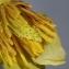 Michel POURCHET  - Liriodendron tulipifera L.