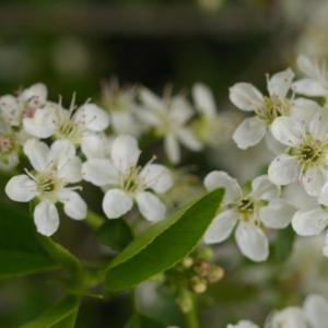 Photographie n°37620 du taxon Prunus mahaleb L.