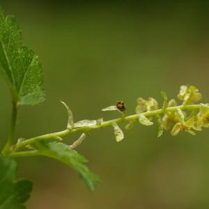 Photographie n°37626 du taxon Ribes alpinum L.