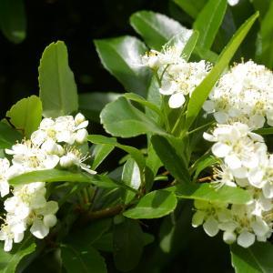 Photographie n°37650 du taxon Pyracantha pauciflora (Poir.) M.Roem. [1847]