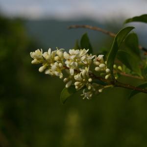 Photographie n°37683 du taxon Ligustrum vulgare L. [1753]