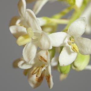 Photographie n°37688 du taxon Ligustrum vulgare L. [1753]