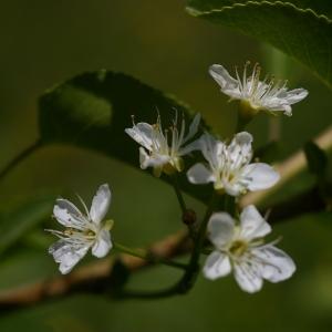 Photographie n°37713 du taxon Prunus mahaleb L.