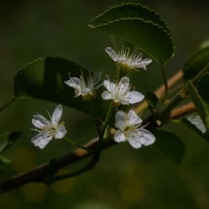 Photographie n°37714 du taxon Prunus mahaleb L.
