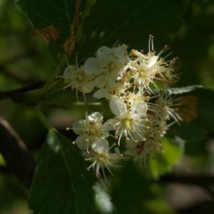 Photographie n°37717 du taxon Sorbus aria (L.) Crantz