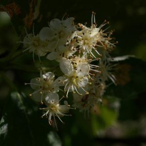 Photographie n°37718 du taxon Sorbus aria (L.) Crantz