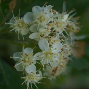 Photographie n°37719 du taxon Sorbus aria (L.) Crantz