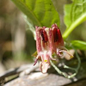 Photographie n°37727 du taxon Lonicera alpigena L. [1753]