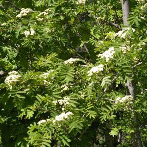 Photographie n°37730 du taxon Sorbus aucuparia L.
