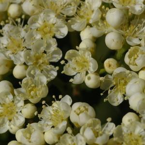 Photographie n°37731 du taxon Sorbus aucuparia L.