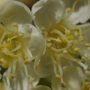 Photographie n°37742 du taxon Sorbus aucuparia L.