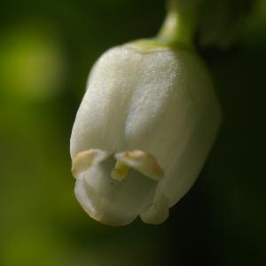 Photographie n°37794 du taxon Vaccinium myrtillus L.