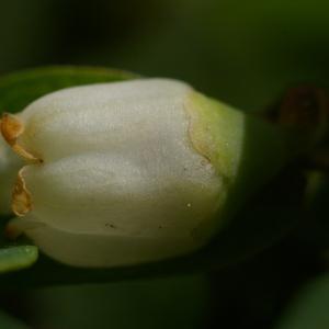 Photographie n°37795 du taxon Vaccinium myrtillus L.