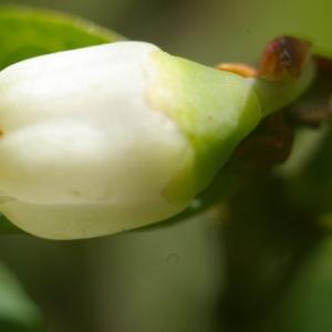Photographie n°37796 du taxon Vaccinium myrtillus L.