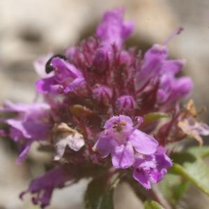 Photographie n°37800 du taxon Origanum vulgare L. [1753]