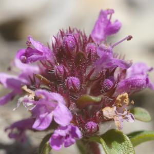 Photographie n°37803 du taxon Origanum vulgare L. [1753]