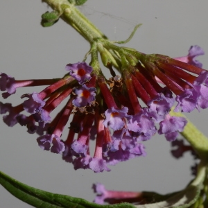 Photographie n°37846 du taxon Buddleja davidii Franch. [1887]