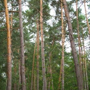 Photographie n°37872 du taxon Pinus sylvestris L. [1753]