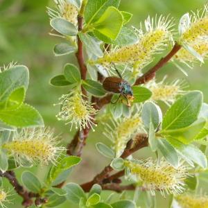 Photographie n°37885 du taxon Salix retusa L.
