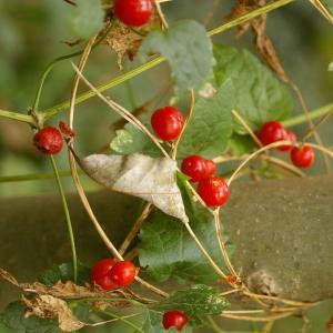 Photographie n°37982 du taxon Bryonia dioica Jacq. [1774]