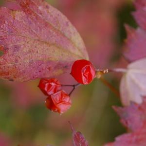Photographie n°37985 du taxon Viburnum opulus L.