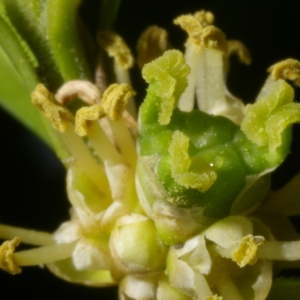 Photographie n°38062 du taxon Buxus sempervirens L.