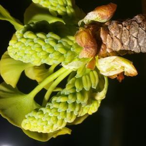 Ginkgo biloba L. [1771] (Abricotier d'argent)
