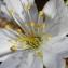Michel POURCHET  - Prunus avium (L.) L. [1755]