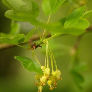 Photographie n°38090 du taxon Acer monspessulanum L. [1753]