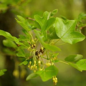 Photographie n°38091 du taxon Acer monspessulanum L. [1753]