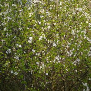 Photographie n°38098 du taxon Prunus avium (L.) L. [1755]