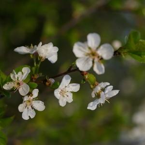 Photographie n°38099 du taxon Prunus avium (L.) L. [1755]