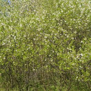 Photographie n°38108 du taxon Prunus avium (L.) L. [1755]