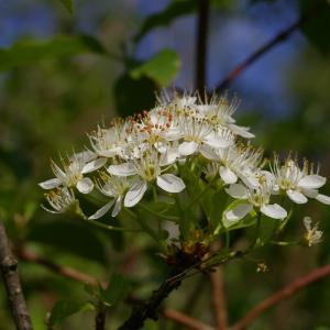 Photographie n°38111 du taxon Prunus mahaleb L.