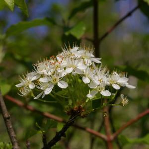 Photographie n°38112 du taxon Prunus mahaleb L.