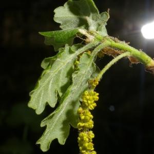 Photographie n°38114 du taxon Quercus pubescens Willd. [1805]