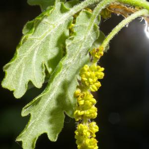 Photographie n°38115 du taxon Quercus pubescens Willd. [1805]